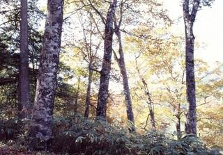 位山峠のブナ林.jpg
