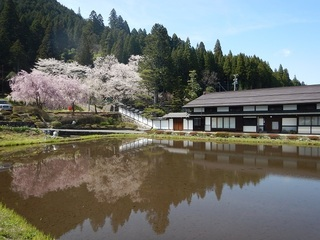 羽根の桜.jpg