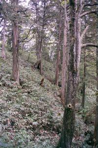 ヒノキ天然林.jpg