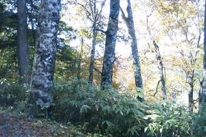 位山峠のブナ林2.jpg
